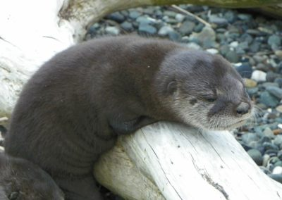 babyriverotters-01